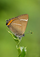White-letter Hairstreak Satyrium w-album