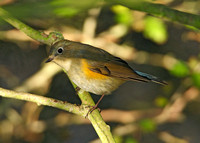 Red-flanked Bluetail Tarsiger cyanurus