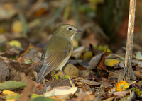 Red-flanked Bluetail Bempton N Yorks Oct 2009