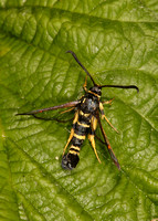 52.012 BF0374 Yellow-legged Clearwing Synanthedon vespiformis