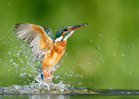 Kingfisher diving shots