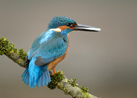 Kingfisher 2 (new) Alcedo atthis