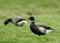 Black Brant Norfolk Dec 2006