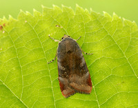 3.348 BF2111 Lesser Broad-bordered Yellow Underwing Noctua janthe