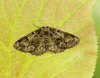 70.288 BF1945 Brussels Lace Cleorodes lichenaria