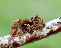 73.016 BF2442 Beautiful Golden Y Autographa pulchrina
