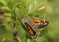 Silver-spotted Skipper Hesperia comma