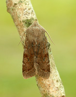 73.242 BF2188 Clouded Drab Orthosia incerta