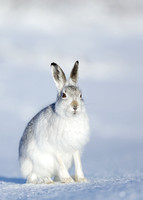 Mountain Hare Lepus timidus