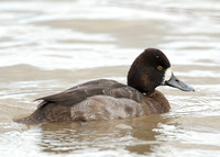 Lesser Scaup Slimbridge Jan 2012
