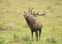 Red Deer Cervus elaphus