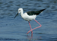 Black-winged Stilt Titchwell