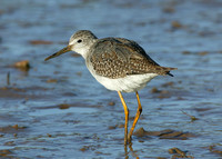 Lesser Yellowlegs Stiffkey 2004-2005