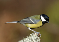 Great Tit Parus major