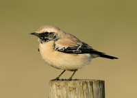 Desert Wheatear Burniston, N Yorks Dec 2007