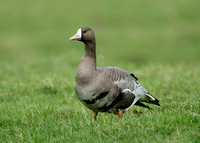 White-fronted Goose Anser albifrons