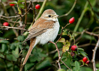 Red-backed Shrike Lanius collurio