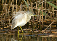 Squacco Heron Chevington, Northumbs Oct 2004