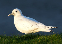 Ivory Gull Patrington, Yorks Dec 2013