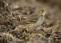Buff-bellied Pipit  Anthus rubescens