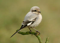 Steppe Grey Shrike Grainthorpe Haven, Lincs Nov 2008