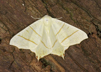 70.243 BF1922 Swallow-tailed Moth Ourapteryx sambucaria