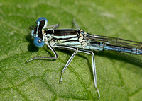 White-legged Damselfly Platycnemis pennipes