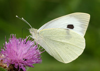 Large White Pieris brassicae