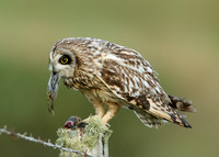 Short-eared Owl Asio flammeus