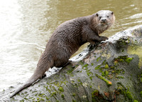 Otter Lutra lutra