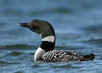 Great Northern Diver Gavia immer