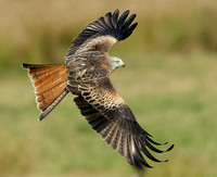 Red Kite Milvus milvus