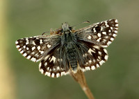 Grizzled Skipper Pyrgus malvae