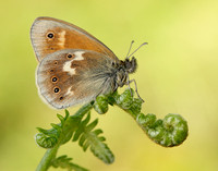 Large Heath Coenonympha tullia polydama
