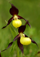 Lady's-slipper Orchid Cypripedium calceolus