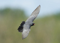 Red-footed Falcon Lakenheath May 2013