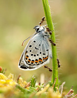 Silver-studded Blue Plebejus argus, emerging with ants