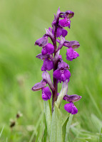 Green-winged Orchid Anacamptis morio