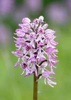Lady x Monkey orchid Orchis purpurea x simia