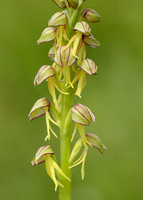 Man Orchid Orchis anthropophora