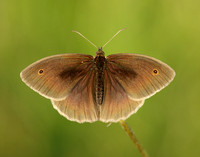 Meadow Brown Maniola jurtina