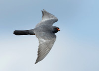 Red-footed Falcon Falco vespertinus