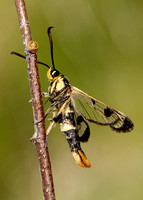 Welsh Clearwing Synanthedon scoliaeformis