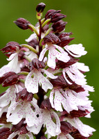 Lady Orchid Orchis purpurea