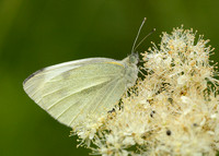Small White Pieris rapae