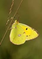 Clouded Yellow Colias croceus