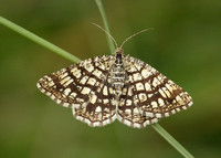 1894 Latticed Heath Chiasmia clathrata clathrata