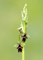 Fly Orchid Ophrys insectifera