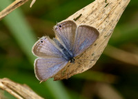 Long-tailed Blue Lampides boeticus