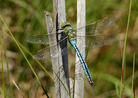 Emperor Dragonfly Anax imperator